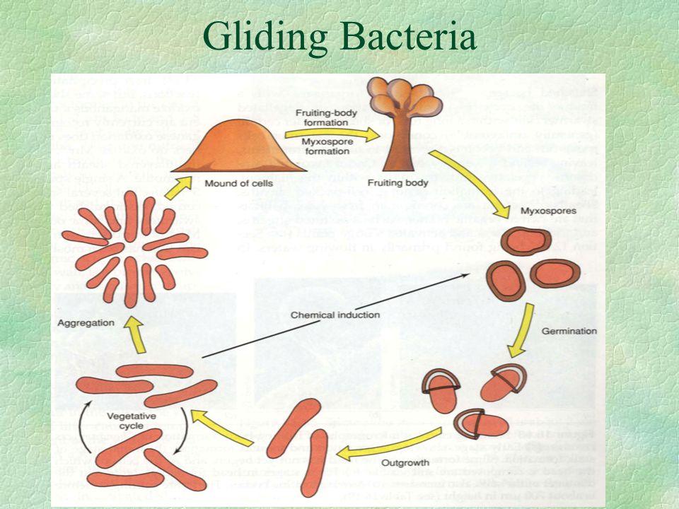 Gliding Bacteria