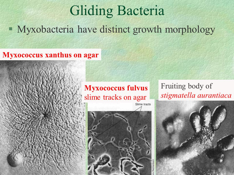 §Myxobacteria have distinct growth morphology Myxococcus xanthus on agar Myxococcus fulvus slime tracks on agar Fruiting body of stigmatella aurantiaca