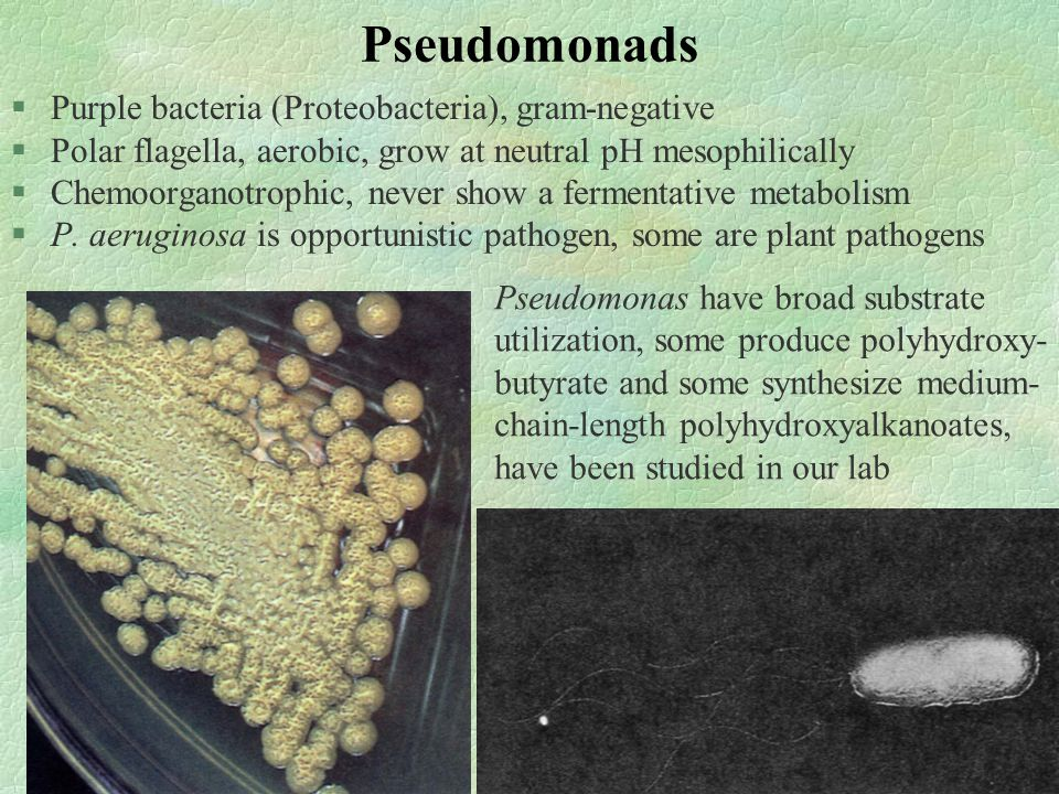 Pseudomonads §Purple bacteria (Proteobacteria), gram-negative §Polar flagella, aerobic, grow at neutral pH mesophilically §Chemoorganotrophic, never show a fermentative metabolism §P.