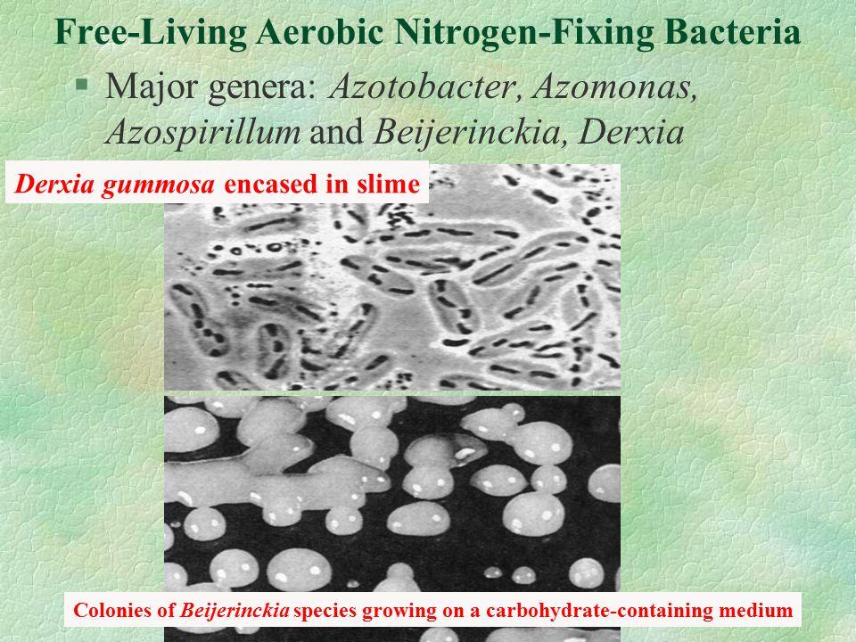 Free-Living Aerobic Nitrogen-Fixing Bacteria §Major genera: Azotobacter, Azomonas, Azospirillum and Beijerinckia, Derxia Colonies of Beijerinckia species growing on a carbohydrate-containing medium Derxia gummosa encased in slime