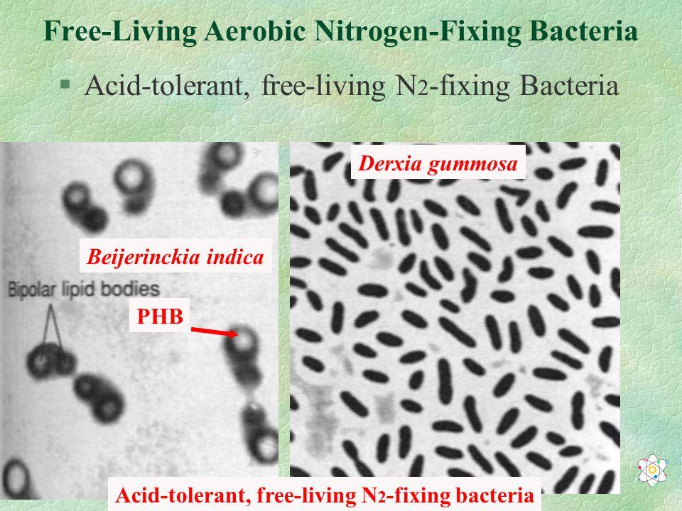 Free-Living Aerobic Nitrogen-Fixing Bacteria §Acid-tolerant, free-living N 2 -fixing Bacteria Acid-tolerant, free-living N 2 -fixing bacteria Beijerinckia indica Derxia gummosa PHB