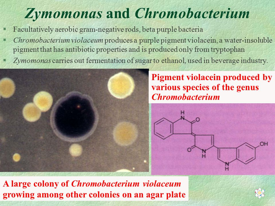 Zymomonas and Chromobacterium §Facultatively aerobic gram-negative rods, beta purple bacteria §Chromobacterium violaceum produces a purple pigment violacein, a water-insoluble pigment that has antibiotic properties and is produced only from tryptophan §Zymomonas carries out fermentation of sugar to ethanol, used in beverage industry.