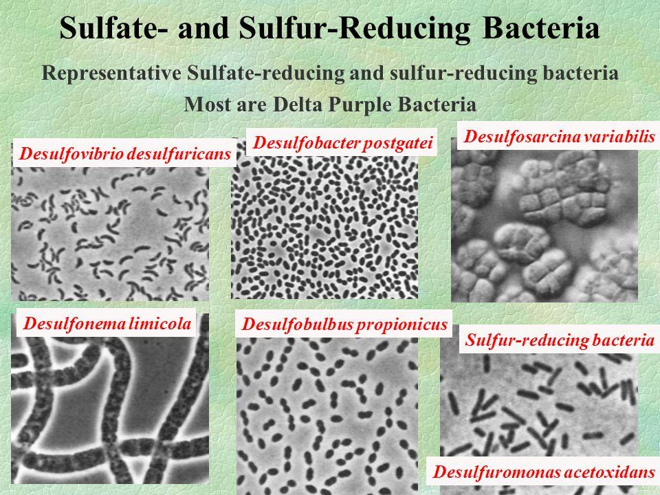 Sulfate- and Sulfur-Reducing Bacteria Representative Sulfate-reducing and sulfur-reducing bacteria Most are Delta Purple Bacteria Desulfovibrio desulfuricans Desulfonema limicola Desulfobacter postgatei Desulfobulbus propionicus Desulfosarcina variabilis Desulfuromonas acetoxidans Sulfur-reducing bacteria