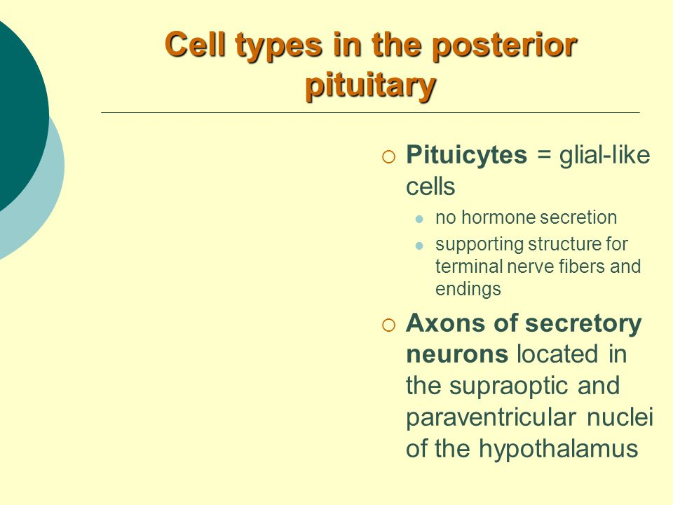 Cell types in the posterior pituitary  Pituicytes = glial-like cells no hormone secretion supporting structure for terminal nerve fibers and endings  Axons of secretory neurons located in the supraoptic and paraventricular nuclei of the hypothalamus