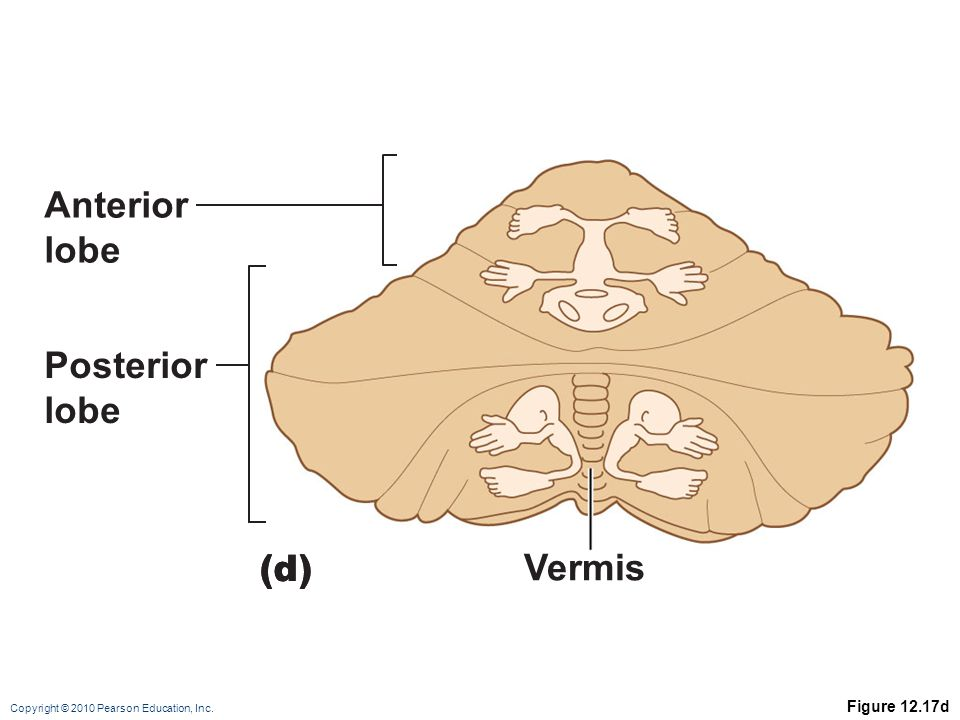 Copyright © 2010 Pearson Education, Inc. Figure 12.17d (d) Anterior lobe Posterior lobe Vermis (d)