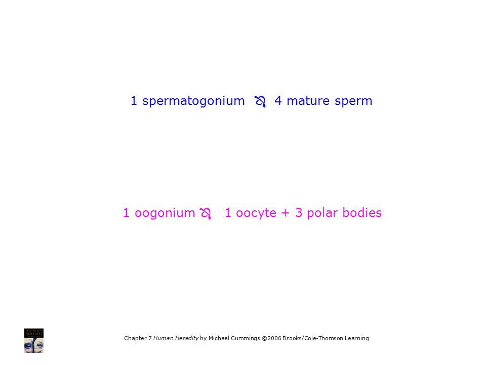 1 spermatogonium  4 mature sperm 1 oogonium  1 oocyte + 3 polar bodies