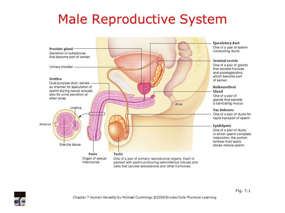 Chapter 7 Human Heredity by Michael Cummings ©2006 Brooks/Cole-Thomson Learning Male Reproductive System Fig.
