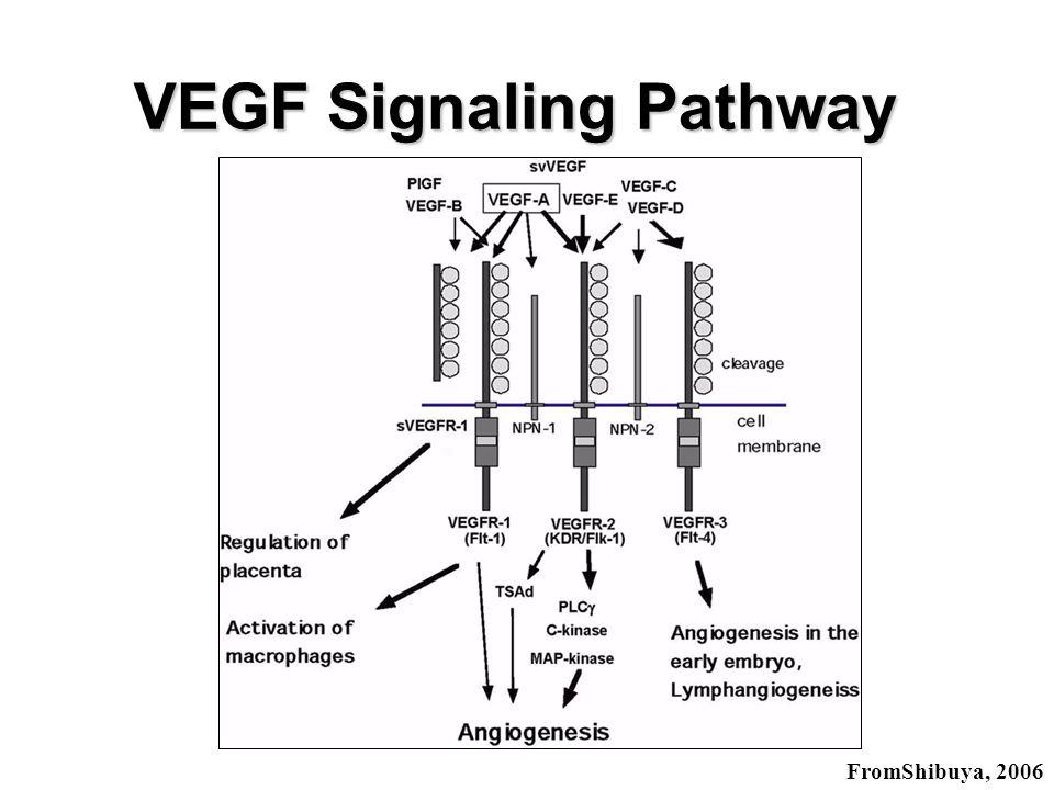 VEGF Flk-1 Angioblast Flk-1Flt-1 VEGF VEGF Signaling Pathway Cell Division + Migration + Survival + Cell Division - Migration + Endothelial Cell