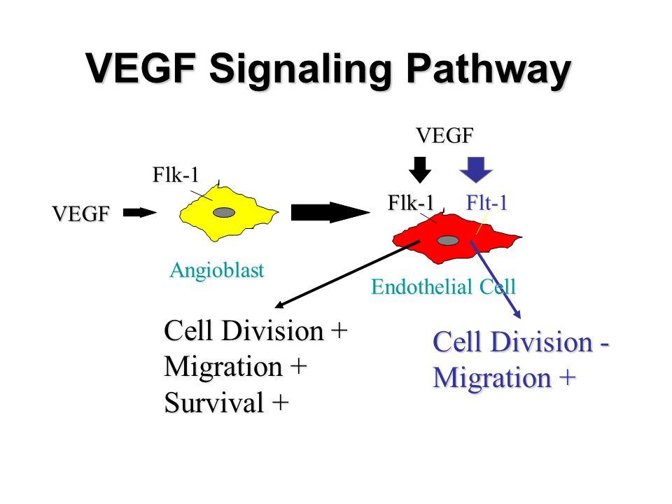 From Gerhardt et al, 2003 Tip cell vs.stalk cell Tip cell: 1.