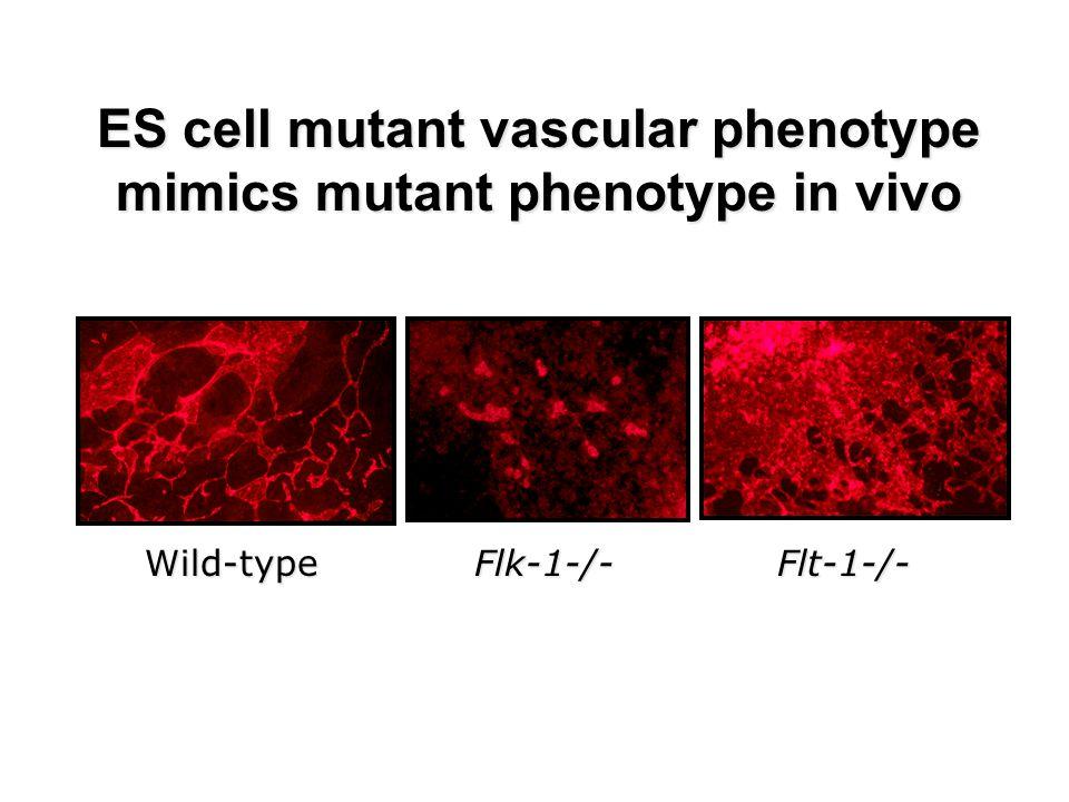 Tip cell characteristics No proliferation Actin-rich filopodia Express PDGFB From Gerhardt et al, 2003