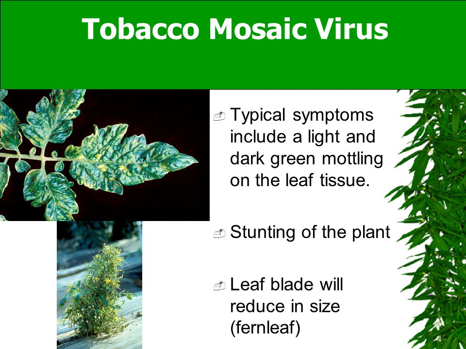  Typical symptoms include a light and dark green mottling on the leaf tissue.