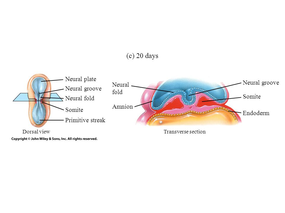 Neural plate Primitive streak Neural fold Neural groove Neural fold Neural groove (c) 20 days Somite Endoderm Amnion Somite Dorsal viewTransverse section
