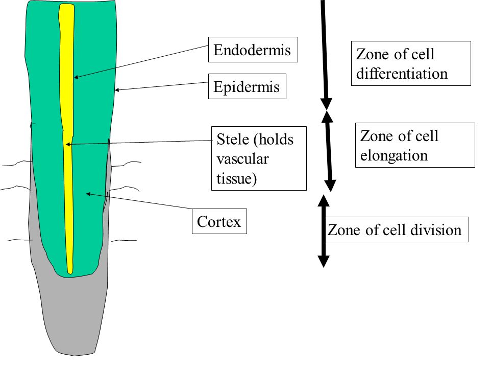 Stele (holds vascular tissue) Cortex Epidermis Zone of cell division Zone of cell elongation Zone of cell differentiation Endodermis