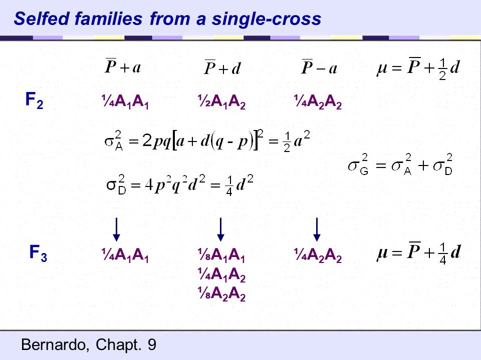 Selfed families from a single-cross ¼A 1 A 1 ½A 1 A 2 ¼A 2 A 2 F2F2 ¼A 1 A 1 ⅛A 1 A 1 ¼A 2 A 2 ¼A 1 A 2 ⅛A 2 A 2 F3F3 Bernardo, Chapt. 9