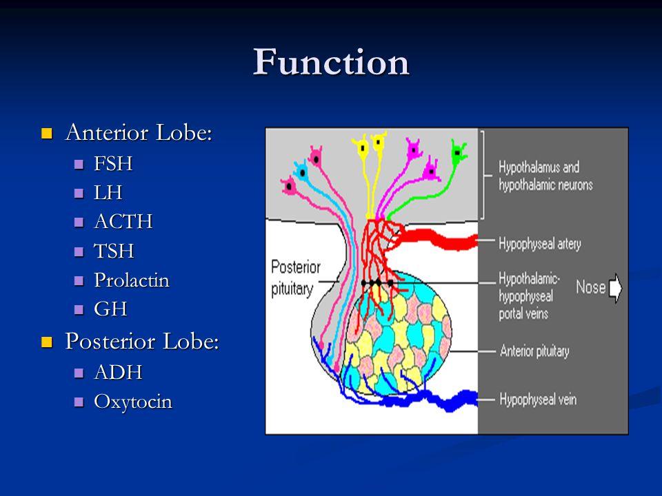 Function Anterior Lobe: Anterior Lobe: FSH FSH LH LH ACTH ACTH TSH TSH Prolactin Prolactin GH GH Posterior Lobe: Posterior Lobe: ADH ADH Oxytocin Oxytocin