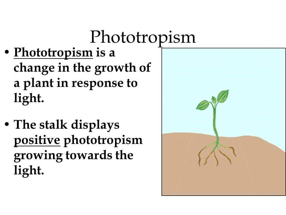 What is gravitropism.