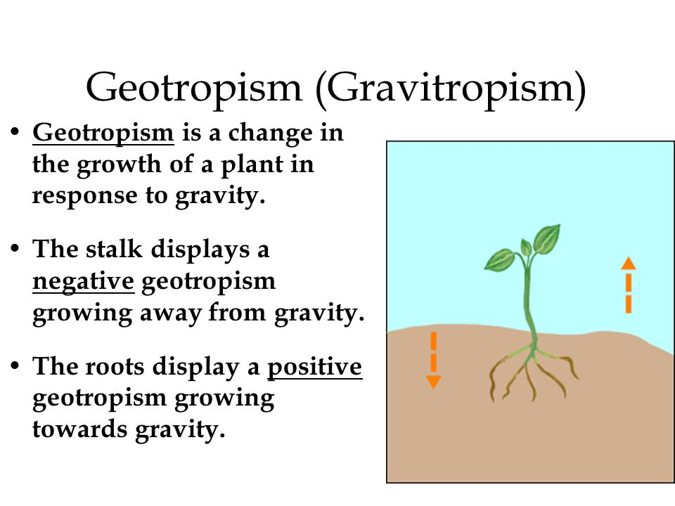 Geotropism (Gravitropism) Geotropism is a change in the growth of a plant in response to gravity. The stalk displays a negative geotropism growing awa