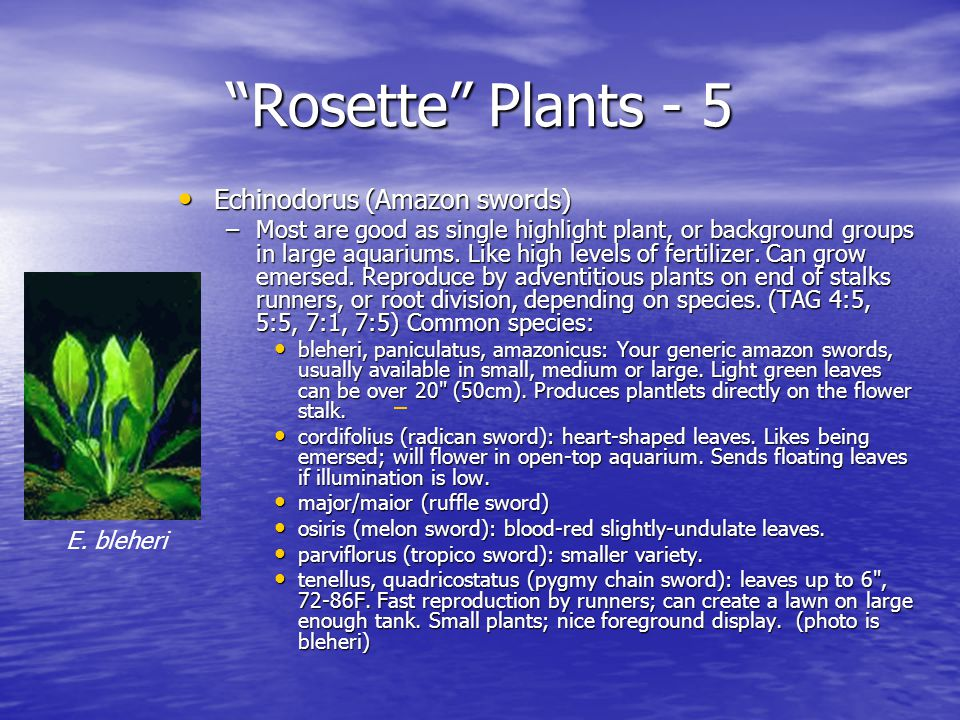 Rosette Plants - 5 Echinodorus (Amazon swords) Echinodorus (Amazon swords) –Most are good as single highlight plant, or background groups in large aquariums.