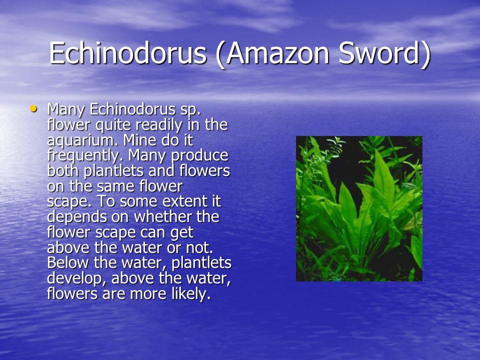 Echinodorus (Amazon Sword) Many Echinodorus sp. flower quite readily in the aquarium.