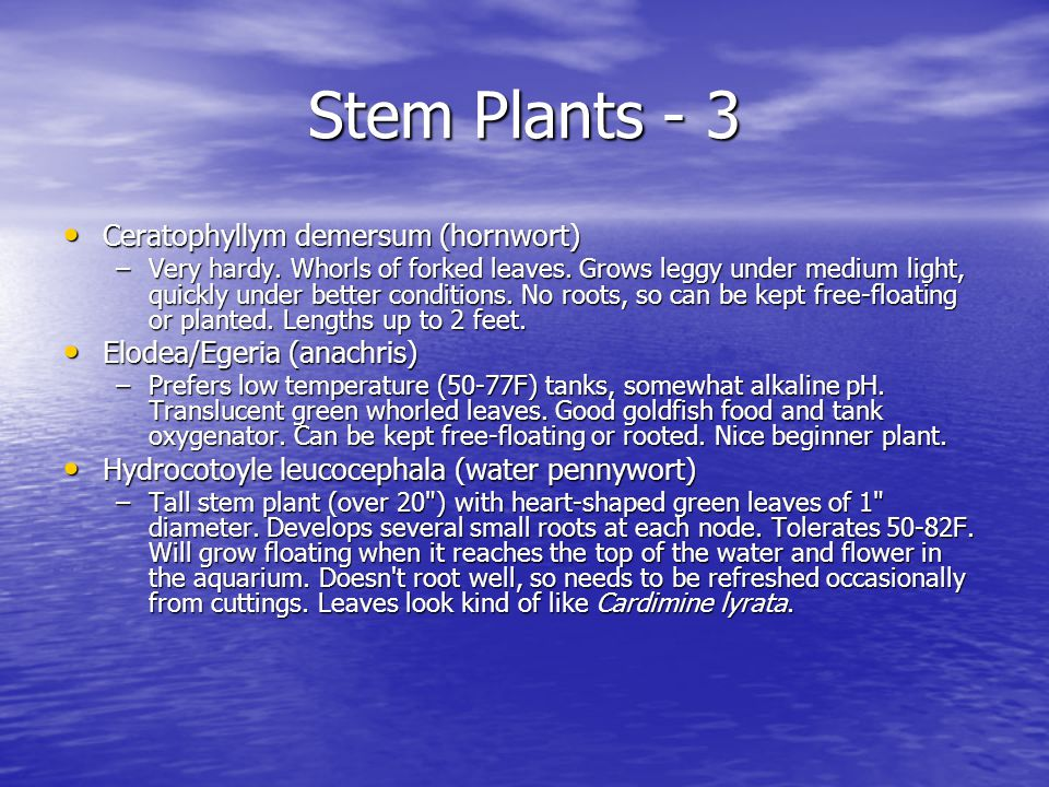 Stem Plants - 3 Ceratophyllym demersum (hornwort) Ceratophyllym demersum (hornwort) –Very hardy.