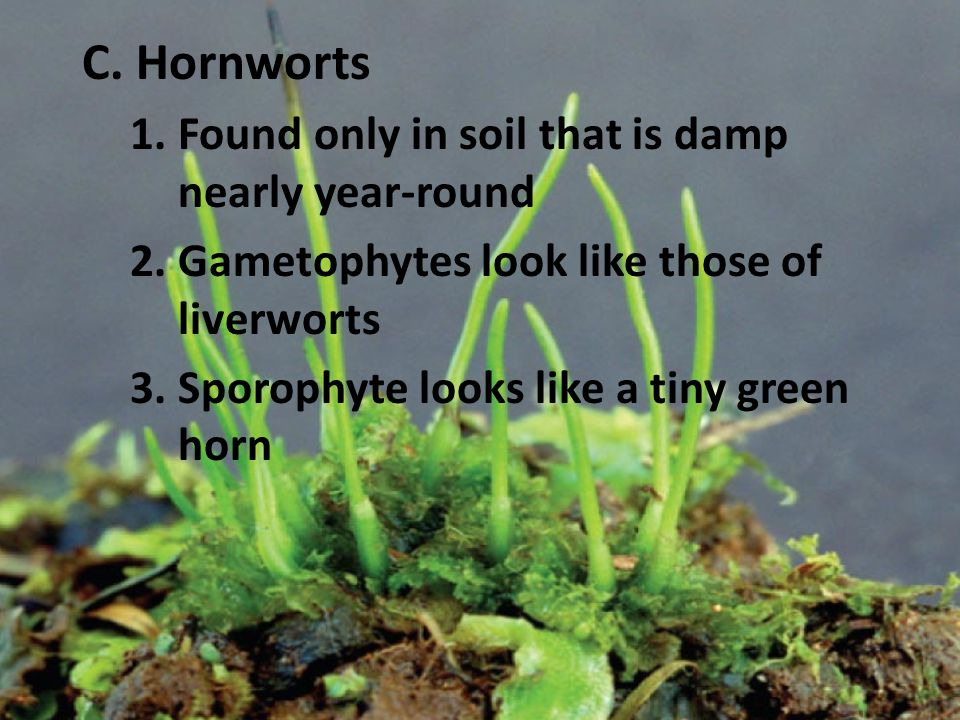 C. Hornworts 1.Found only in soil that is damp nearly year-round 2.Gametophytes look like those of liverworts 3.Sporophyte looks like a tiny green hor