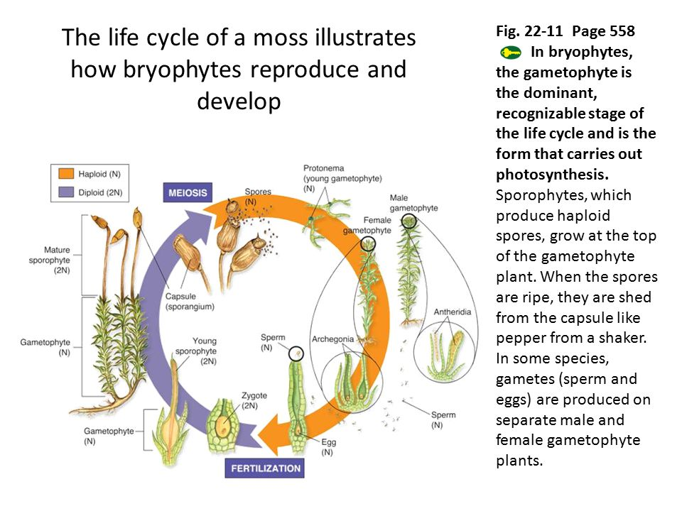 The life cycle of a moss illustrates how bryophytes reproduce and develop Fig. 22-11 Page 558 In bryophytes, the gametophyte is the dominant, recogniz