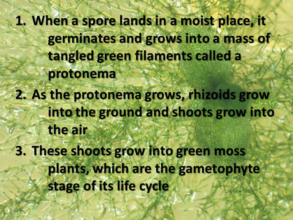 1.When a spore lands in a moist place, it germinates and grows into a mass of tangled green filaments called a protonema 2.As the protonema grows, rhi