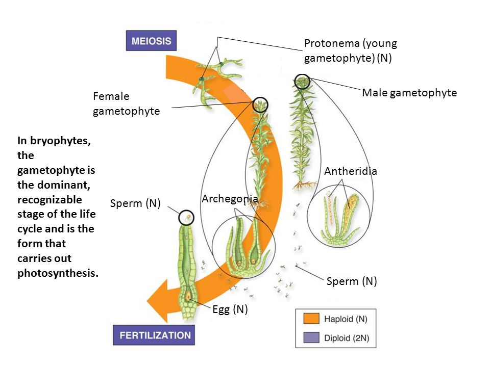 Female gametophyte Archegonia Antheridia Sperm (N) Egg (N) Male gametophyte Protonema (young gametophyte) (N) In bryophytes, the gametophyte is the do
