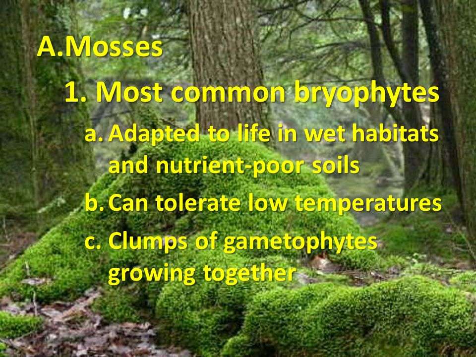 A.Mosses 1. Most common bryophytes a.Adapted to life in wet habitats and nutrient-poor soils b.Can tolerate low temperatures c.Clumps of gametophytes