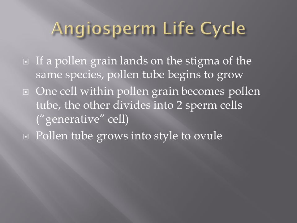  If a pollen grain lands on the stigma of the same species, pollen tube begins to grow  One cell within pollen grain becomes pollen tube, the other
