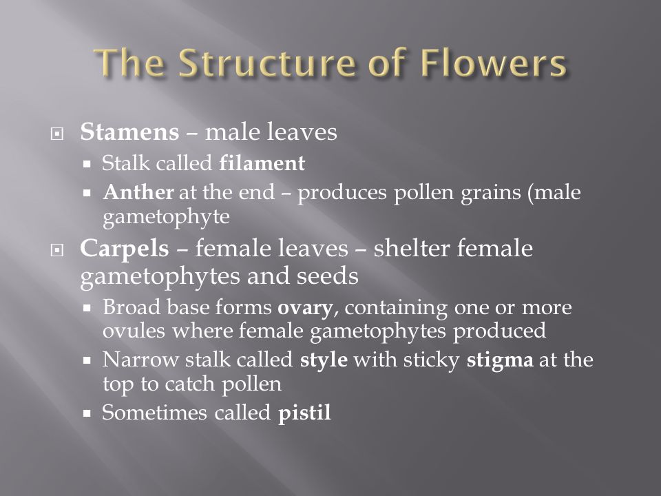  Stamens – male leaves  Stalk called filament  Anther at the end – produces pollen grains (male gametophyte  Carpels – female leaves – shelter fem