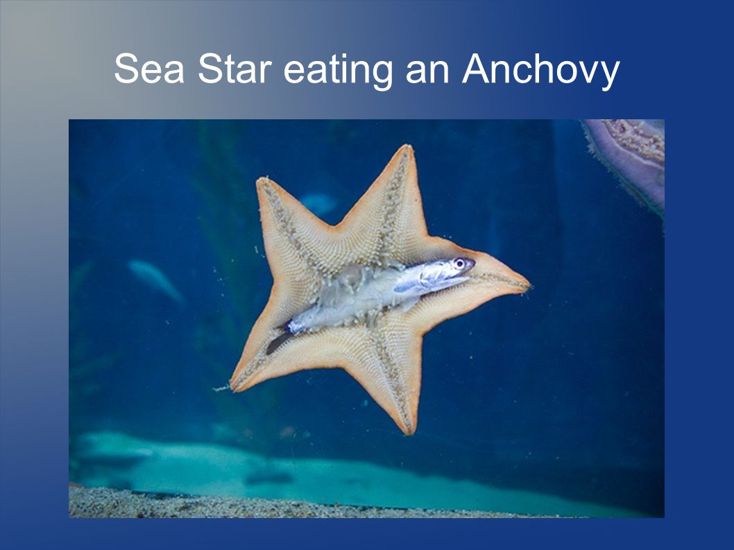 Sea Star eating an Anchovy