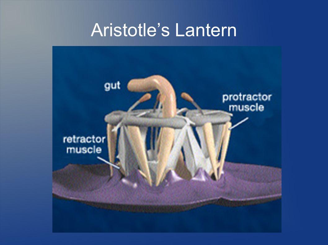 Aristotle's Lantern