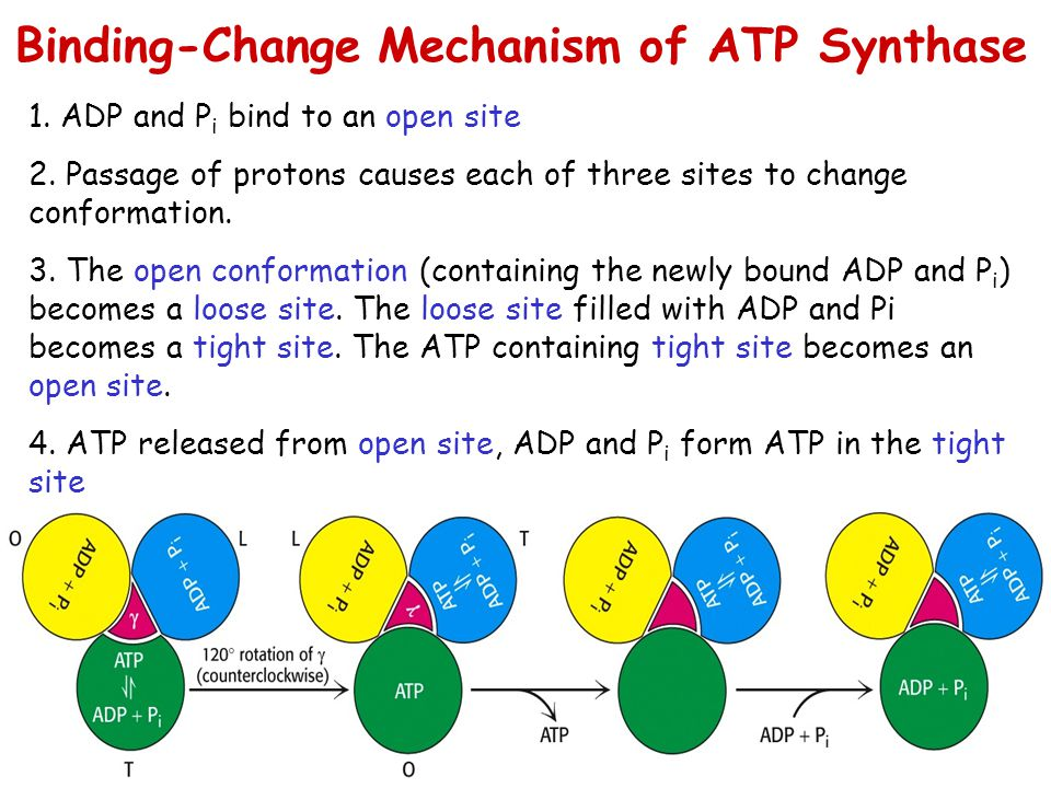 1. ADP and P i bind to an open site 2. Passage of protons causes each of three sites to change conformation. 3. The open conformation (containing the