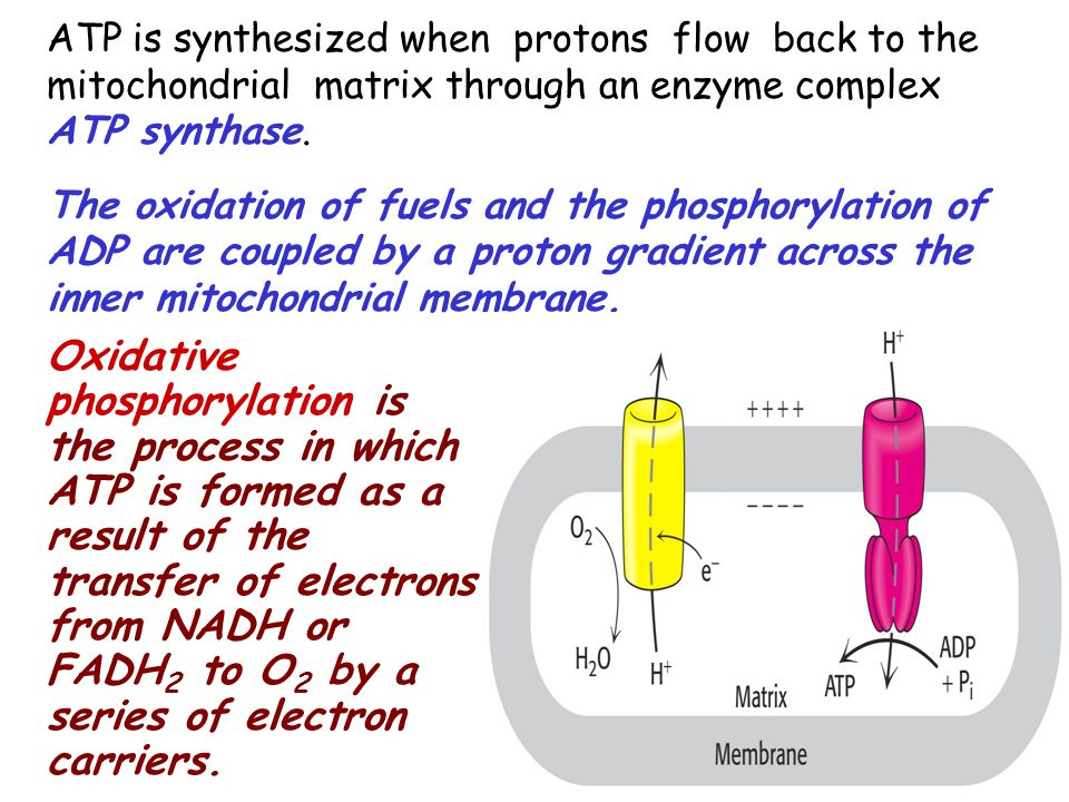 ATP is synthesized when protons flow back to the mitochondrial matrix through an enzyme complex ATP synthase. The oxidation of fuels and the phosphory