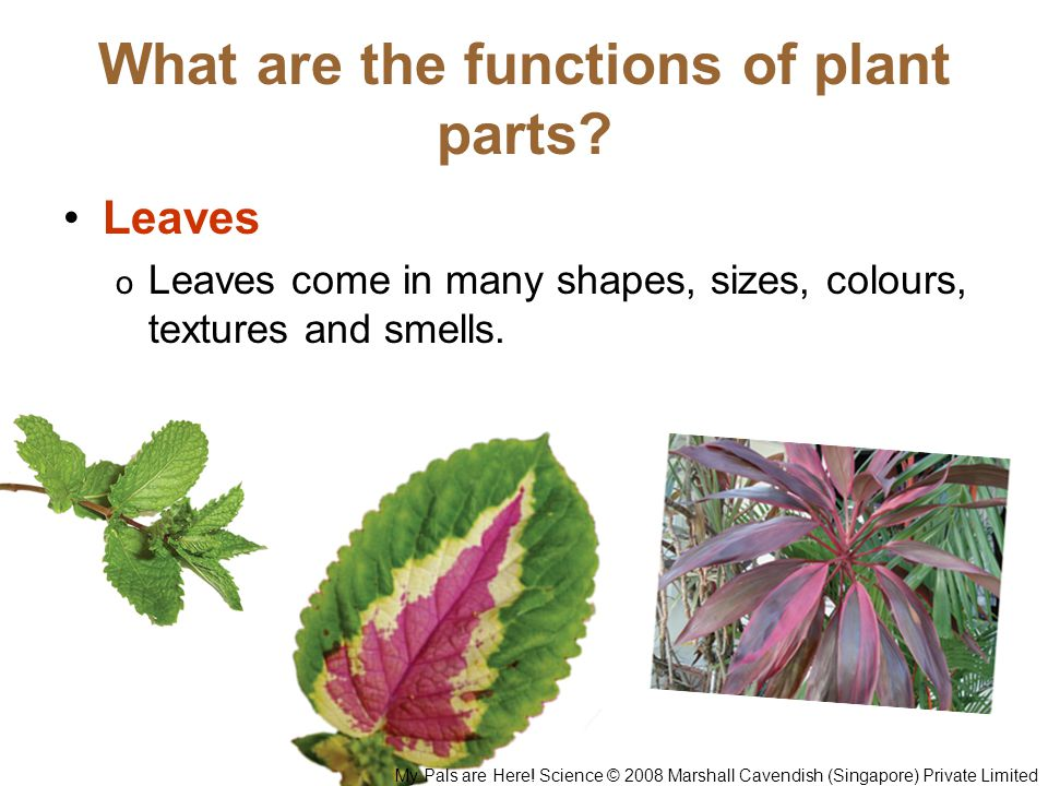 What are the functions of plant parts? Leaves o Leaves come in many shapes, sizes, colours, textures and smells. My Pals are Here! Science © 2008 Mars