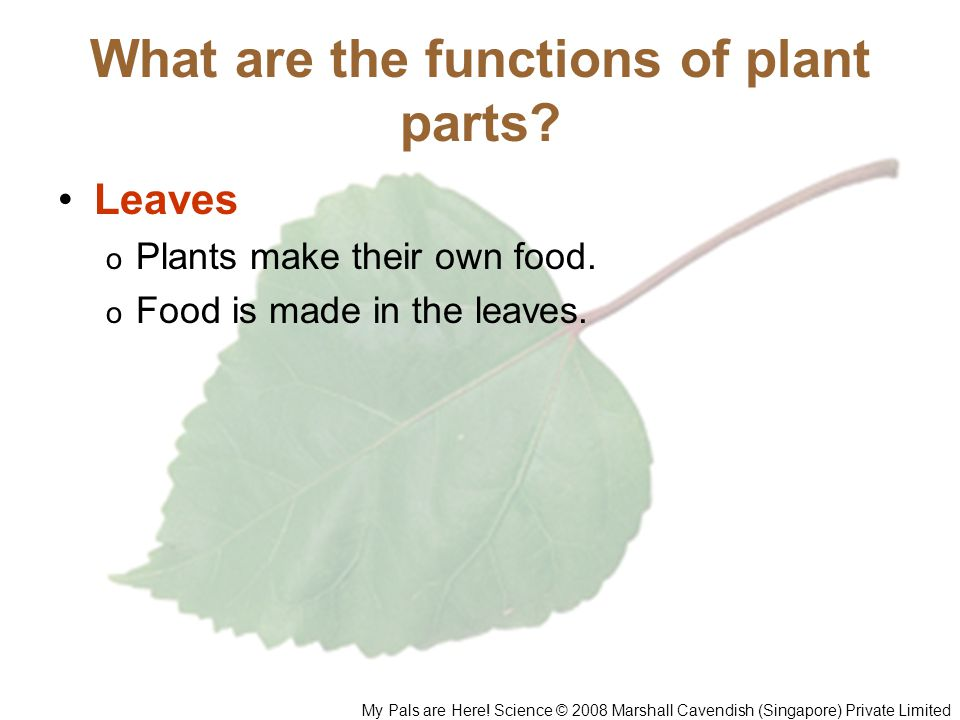 What are the functions of plant parts? Leaves o Plants make their own food. o Food is made in the leaves. My Pals are Here! Science © 2008 Marshall Ca