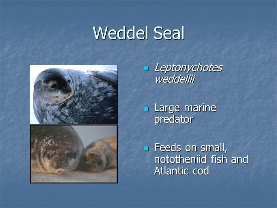 Weddel Seal Leptonychotes weddellii Leptonychotes weddellii Large marine predator Large marine predator Feeds on small, nototheniid fish and Atlantic cod Feeds on small, nototheniid fish and Atlantic cod