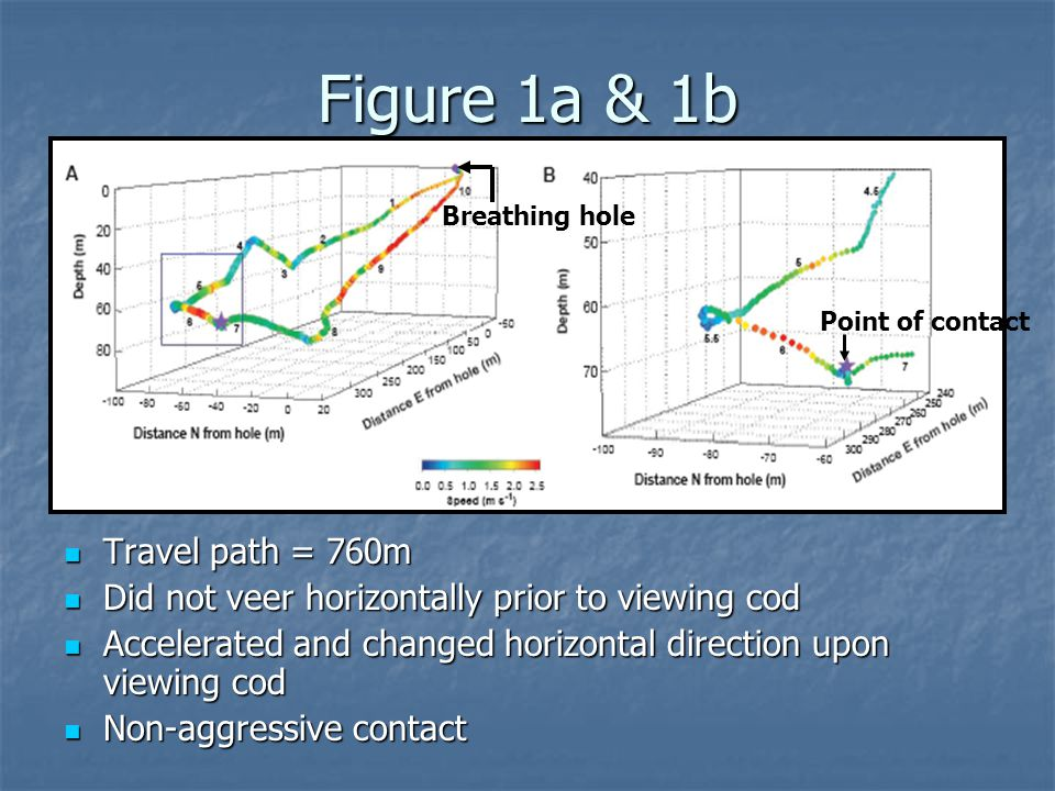 Figure 1a & 1b Travel path = 760m Travel path = 760m Did not veer horizontally prior to viewing cod Did not veer horizontally prior to viewing cod Accelerated and changed horizontal direction upon viewing cod Accelerated and changed horizontal direction upon viewing cod Non-aggressive contact Non-aggressive contact Point of contact Breathing hole