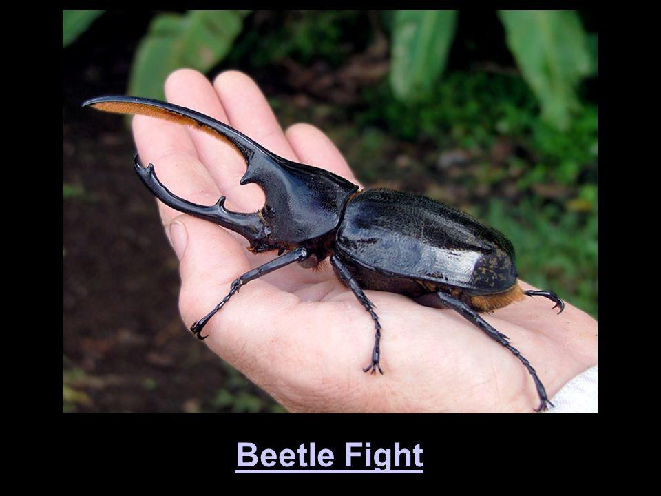 Beetle Fight