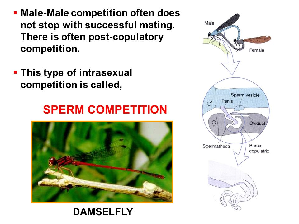  Male-Male competition often does not stop with successful mating.