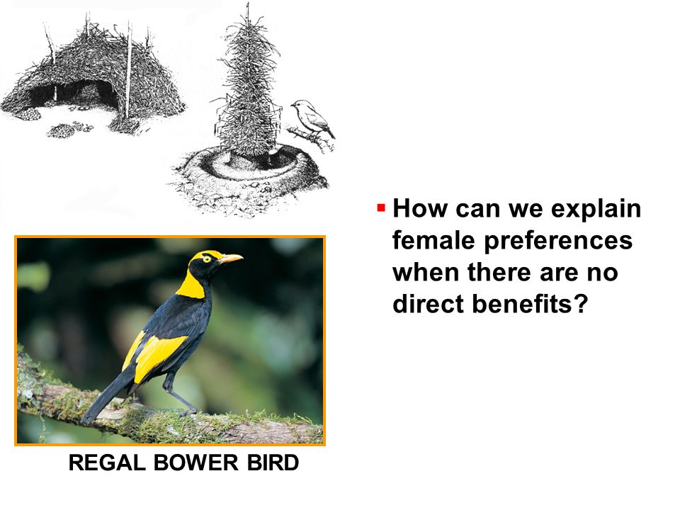  How can we explain female preferences when there are no direct benefits REGAL BOWER BIRD