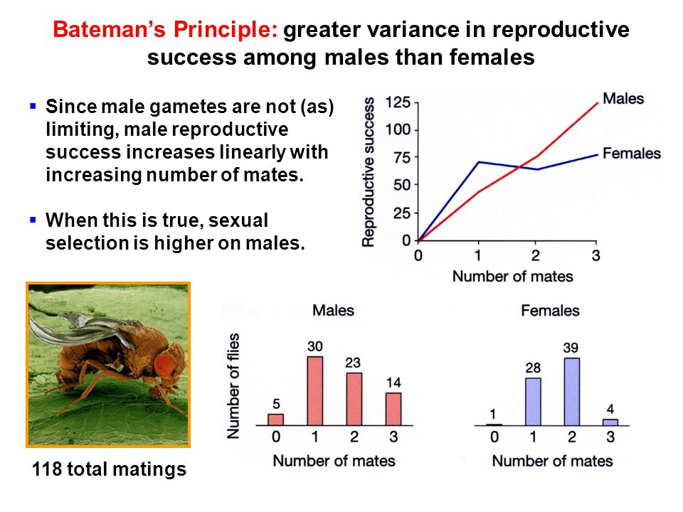 Bateman's Principle: greater variance in reproductive success among males than females  Since male gametes are not (as) limiting, male reproductive success increases linearly with increasing number of mates.