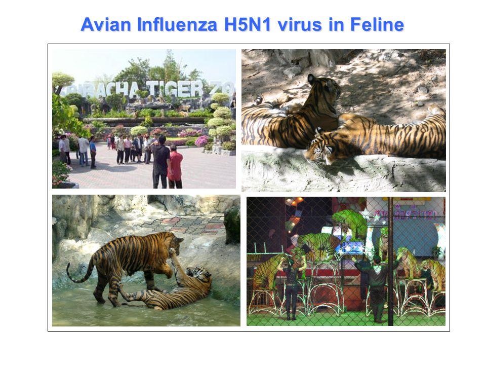 Avian Influenza H5N1 virus in Feline