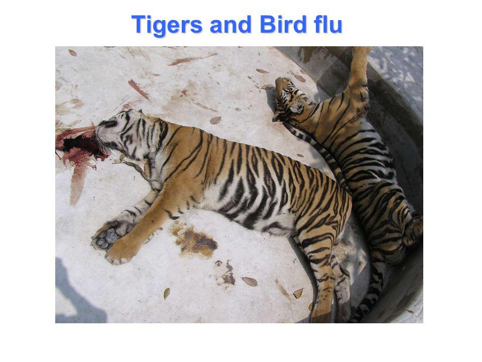 Tigers and Bird flu
