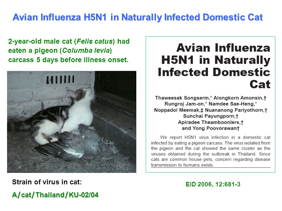 Avian Influenza H5N1 in Naturally Infected Domestic Cat 2-year-old male cat (Felis catus) had eaten a pigeon (Columba levia) carcass 5 days before illness onset.