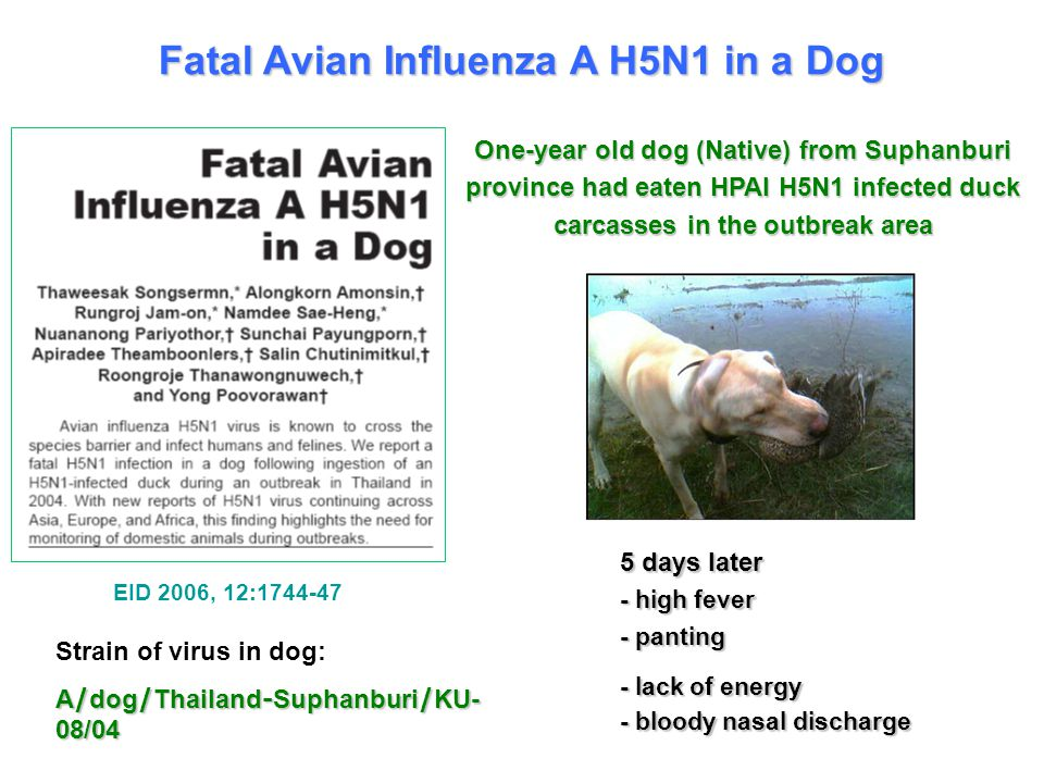 Fatal Avian Influenza A H5N1 in a Dog 5 days later - high fever - panting - lack of energy - bloody nasal discharge Strain of virus in dog: A/dog/Thailand-Suphanburi/KU- 08/04 One-year old dog (Native) from Suphanburi province had eaten HPAI H5N1 infected duck carcasses in the outbreak area EID 2006, 12:1744-47