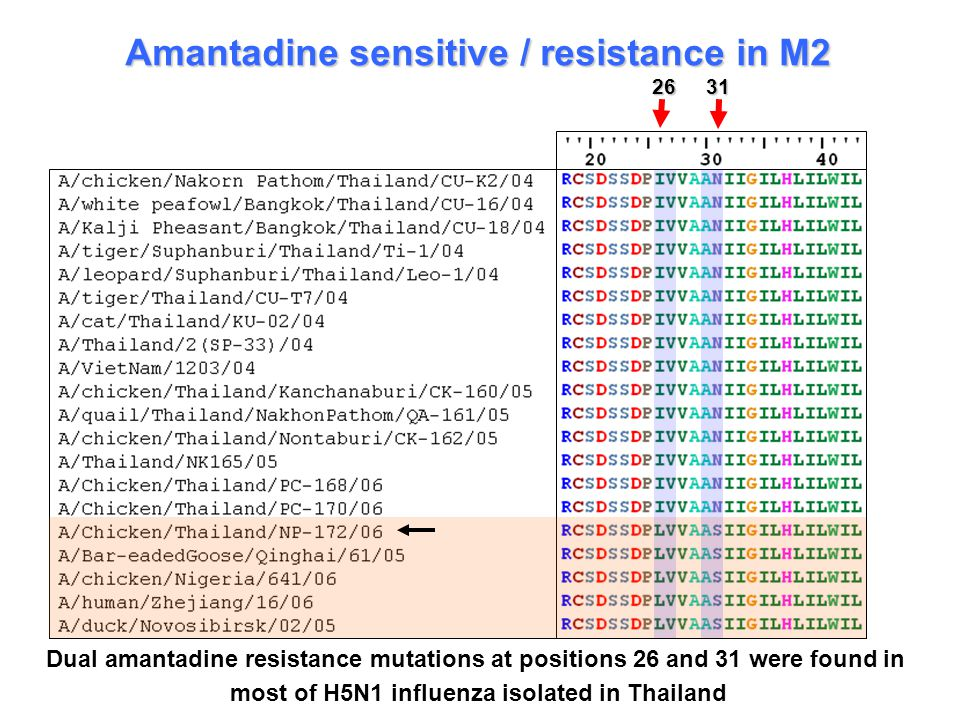 Amantadine sensitive / resistance in M2 26 31 Dual amantadine resistance mutations at positions 26 and 31 were found in most of H5N1 influenza isolated in Thailand