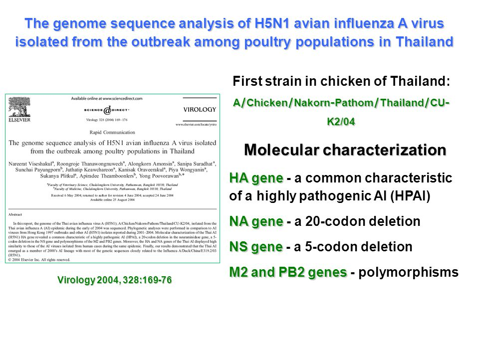 A/Chicken/Nakorn-Pathom/Thailand/CU- K2/04 First strain in chicken of Thailand: A/Chicken/Nakorn-Pathom/Thailand/CU- K2/04 The genome sequence analysis of H5N1 avian influenza A virus isolated from the outbreak among poultry populations in Thailand Virology 2004, 328:169-76 Molecular characterization HA gene HA gene - a common characteristic of a highly pathogenic AI (HPAI) NA gene NA gene - a 20-codon deletion NS gene NS gene - a 5-codon deletion M2 and PB2 genes M2 and PB2 genes - polymorphisms