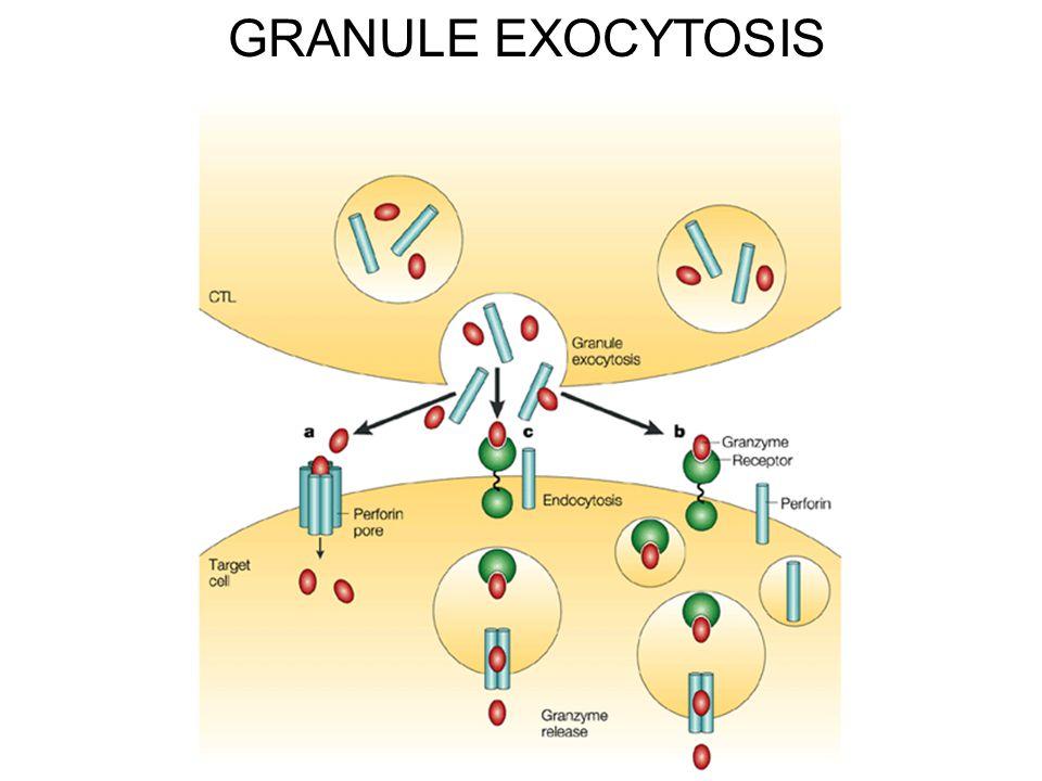 GRANULE EXOCYTOSIS